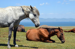 Horses on the shore of a mountain lake. Gray and brown horses in a pasture on the shore of a mountain lake Son-Kul in the Tien Shan Royalty Free Stock Image