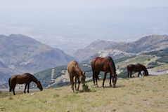 Horses in Sierra Nevada, the highest peaks of inland Spain. Stock Photo