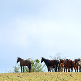 Horses with small foal on spring hill Royalty Free Stock Photos