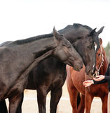 Horses smelling human hands stock images