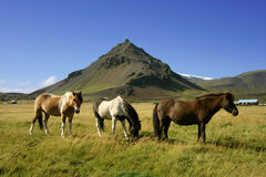 Horses in Snaefellsnes Royalty Free Stock Images