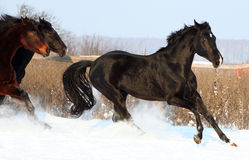 Horses in the snow. Black stallion, galloping horses at liberty, beautiful thoroughbred horses, noble animal Royalty Free Stock Images