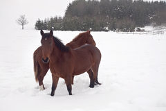Horses in the Snow Royalty Free Stock Image