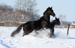 Horses in the snow. Two black stallion at liberty, beautiful thoroughbred horses, couple noble animals, bloodstock Royalty Free Stock Photos