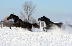 Horses in the snow. Black stallion at liberty, two beautiful galloping horses, thoroughbred horses, noble animal Royalty Free Stock Photography