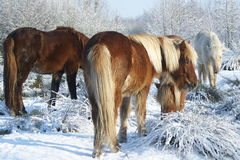 Horses in the snow. Winter 2010 in Holland Royalty Free Stock Photography