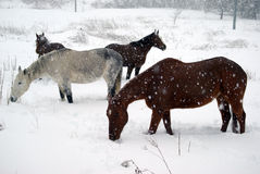 Horses in the snow. Horses grazing in snow during winter Royalty Free Stock Photo