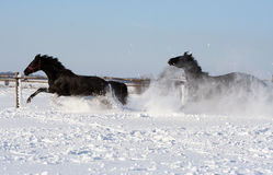 Horses in the snow. Two black stallion at liberty, beautiful horse rushes, noble animal, pair of thoroughbred horses Stock Photography