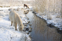 Horses in the snow. Winter 2010 in Holland Royalty Free Stock Images