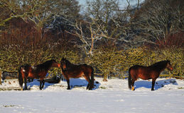 Horses in the Snow. Three Horses Grazing in the Snow Royalty Free Stock Photography