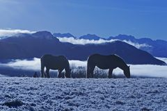 Horses in snow. Horse in snow in mountain Royalty Free Stock Photo