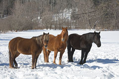 Horses in snow Stock Photo