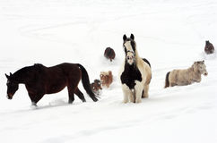 Horses in the snow. A flock of horses walking through the deep snow Royalty Free Stock Photo