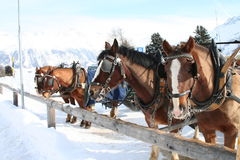 Horses in the snow. Horses and carriage in the swiss snow Stock Image
