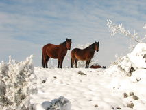 Horses in the snow. Holiday in the snow, waiting for spring Royalty Free Stock Photography