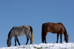 Horses in the snow Stock Photos