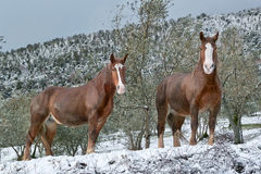 Horses in the snow Stock Image