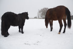 Horses in the snow Stock Images
