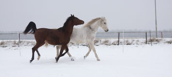 Horses in the snow Royalty Free Stock Images