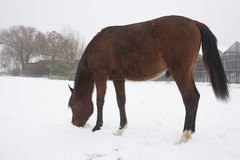 Horses in the snow Stock Photo
