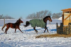 Horses in Snow. Horse and pony playing in snow on early winter morning Royalty Free Stock Image