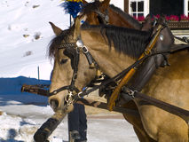 Horses in the snow. Two horses in the Swiss snow Royalty Free Stock Images