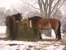Horses in snow. Two horses eating hay and trying to keep warm on a cold, snowy day Royalty Free Stock Images