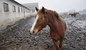 Horses in snow blizzard_2 Royalty Free Stock Photography