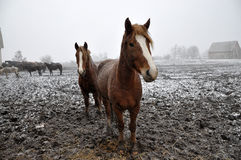 Horses in snow blizzard_4 Stock Images