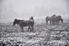 Horses in snow blizzard_7 Royalty Free Stock Image