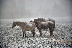 Horses in snow blizzard_9 Royalty Free Stock Photography