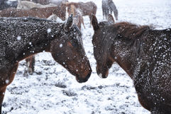 Horses in snow blizzard_14 Royalty Free Stock Images