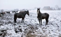 Horses in snow blizzard_15 Stock Photos