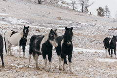 Horses in the snow-covered steppe. Stock Image