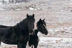 Horses in the snow-covered steppe. Royalty Free Stock Photo