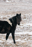 Horses in the snow-covered steppe. Stock Photo