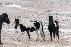 Horses in the snow-covered steppe. Royalty Free Stock Image