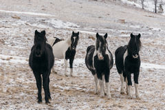 Horses in the snow-covered steppe. Stock Images
