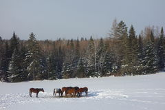 Horses in the snow. Horses eating a bale of hay in the snow Stock Images