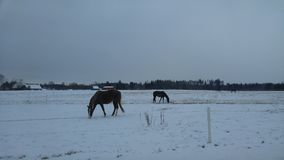 Horses on the snow field. Horses eat grass on snow field. Winter. Snow. Horses Stock Photos