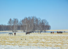 Horses on snow field Stock Image
