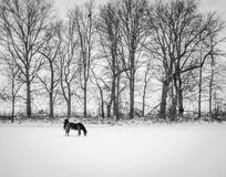 Horses on snow field. Two horses are in the snow-covered field, a winter wonderland Stock Images