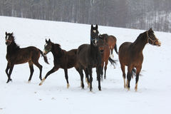 Horses  dancing in the snow Royalty Free Stock Photo
