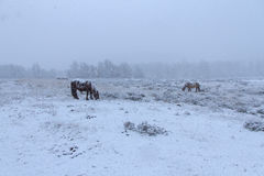 Horses in the Snow Royalty Free Stock Photo