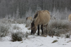 Horses in the snow (paard in de sneeuw). Horses in the snow in belgium paarden in de sneeuw in belgie stock photography