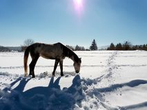 Horses in the snow with the reflection of sunlight.  Stock Photos