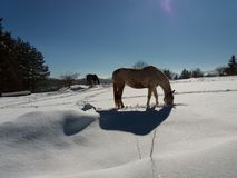 Horses in the snow with the reflection of sunlight.  Stock Image