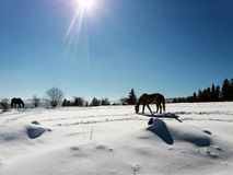 Horses in the snow with the reflection of sunlight.  Royalty Free Stock Photos