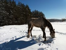 Horses in the snow with the reflection of sunlight.  Royalty Free Stock Photography