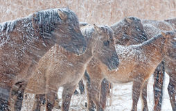 Horses in a snow storm. Konik horses in a snow storm in winter Royalty Free Stock Photography